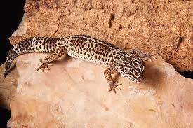 leopard gecko lighting at night gecko care sheet