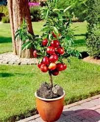 nectarine trees product categories yalca fruit trees