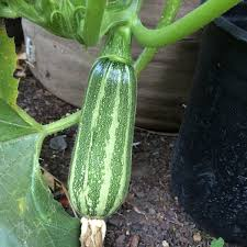 Squash Plant Diseases Pictures - zucchini varieties and types of zucchini