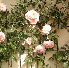best climbing plants lotus flower symbolism