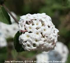 Very Fragrant Plants - best 25 viburnum carlcephalum ideas on pinterest snowball