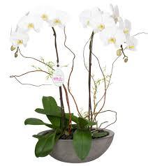Elegance by Double Orchids Elegance Fresh Blooms Langley U0026 Surrey Flowers