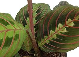 25 Easy Houseplants Easy To by Amazon Com Hirt U0027s Red Prayer Plant Maranta Easy To Grow House