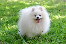 pomeranian x bichon frise sale fluffy white pomeranian puppies that will make you smile