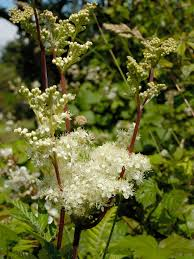 native plants uk meadowsweet native british wildflower plug plants meadow mania