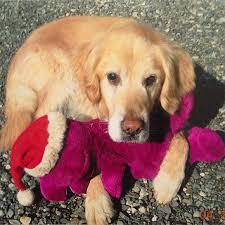 Temporary Blindness In Dogs Golden Retriever Pigmentary Uveitis Animal Eye Care