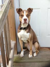 american pit bull terrier life expectancy 7 facts about pitbull u0026 husky mix a k a pitsky animalso
