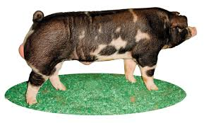 major swine breeds pork checkoff