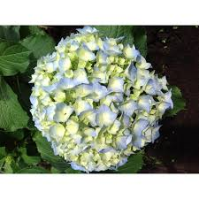 Bulk Hydrangeas Light Blue Hydrangeas In Bulk