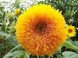 teddy sunflowers buy indian gardening sunflower teddy flower seeds 20