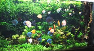 Live Plants In Community Aquariums by Planted Aquariums Discus Tank Plants Discusguy