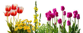 image of spring flowers tulips spring flowers flower free photo on pixabay