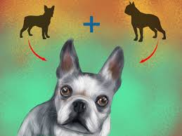 Boston Terrier Flag How To Diagnose Eye Problems In Boston Terriers 9 Steps