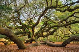South Carolina landscapes images Charleston sc angel oak tree south carolina landscape photograph jpg