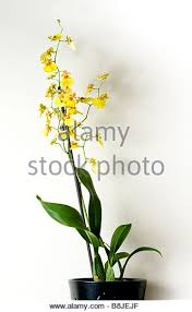 Yellow Orchid Brown And Yellow Orchid Stock Photos U0026 Brown And Yellow Orchid