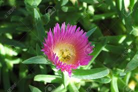 pink desert flower stock photo picture and royalty free image