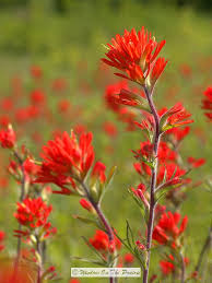 indian paintbrush flower scarlet indian paintbrush window on the prairie