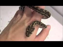 Baby Carpet Baby Coastal Carpet Pythons Youtube