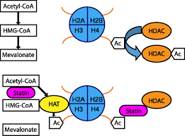 pleiotropic and adverse effects of statins do epigenetics play a download figure