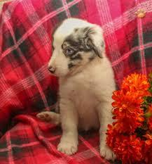 australian shepherd red heeler mix ace mini australian shepherd mix puppy for sale in belleville