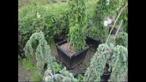 cheap blue spruce trees find blue spruce trees deals on line at