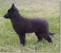 belgian sheepdog groenendael breeder past litters