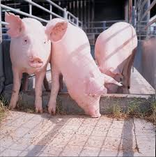pig feed why it is illegal to feed food scraps swill to pigs