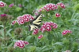 Sweet William Flowers Free Photo Sweet William Butterfly Flower Flowers Butter Fly Max