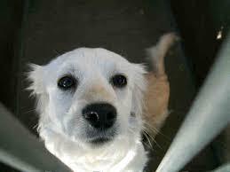 american eskimo dog rescue colorado american eskimo dogs in shelters southern california case tracking