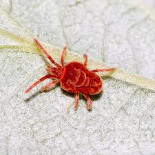 Pictures Of Tiny Red Bugs by Trombidiidae Wikipedia