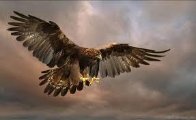 national bird of scotland golden eagle jpg 1220 749 beauty