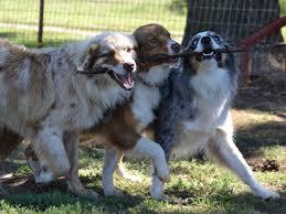 australian shepherd owners windy g farm australian shepherds australian shepherd puppies