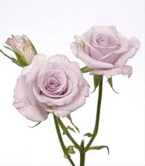 silver roses silver spray roses flowers by category