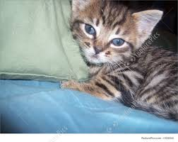 Kitten Bed Pets Kitten In Bed Stock Image I1926344 At Featurepics