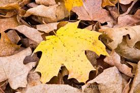 dry leaves autumn hd images leaf falls loversiq