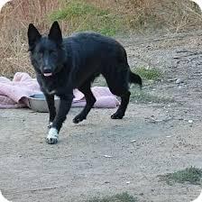 belgian sheepdog rescue adoption brei adopted dog merritt bc belgian shepherd border collie mix