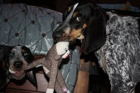 bluetick coonhound kennels in tennessee bluetick 1 kennels bluetick1kennels www bluetick1kennels com