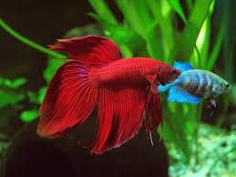 art of fish fighting in hanoi part 2