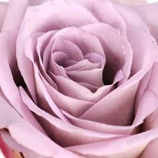 blumen lila blumen rasper lila rosa