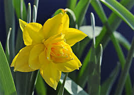 uk gardens 25kg bulk bag golden ducat daffodil spring double