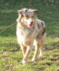 australian shepherd for sale los angeles i like seeing pictures of australian shepherds with their tails i