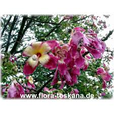 chorisia speciosa silk floss tree bombax flora toskana