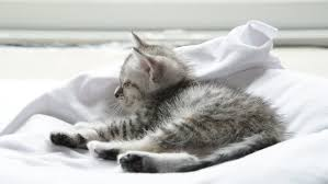 Kitten Bed Cute Tabby Kitten And Siberian Husky Playing On The Bed Stock