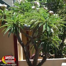 native plants madagascar madagascar palm palm tree palm paradise nursery