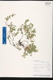 Florida Wetlands Map desmodium triflorum species page isb atlas of florida plants