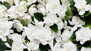 Gardenias by Best Gardenia Flower Delivery Luxury Flowers In A Box