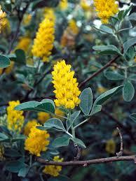 the most fragrant shrubs types of shrubs hgtv
