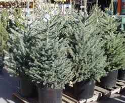 live christmas tree live christmas tree use a plantable tree indoors for only a few