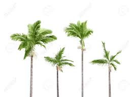 White Background Palm Tree White Background Images U0026 Stock Pictures Royalty Free