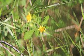 san diego native plants list camissonia u0027s ca native plant life list drymocallis glandulosa var